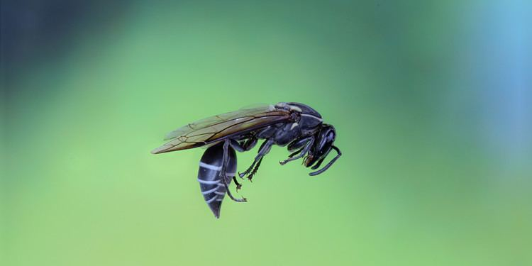Polybia paulista Brazilian Wasp Sting Could Destroy Cancer Cells Researchers Say