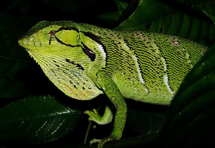 Polychrus CalPhotos Polychrus liogaster