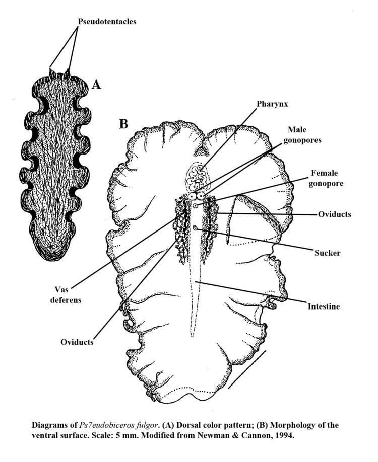 Polycladida Taxonomy Marine Flatworms Polycladida