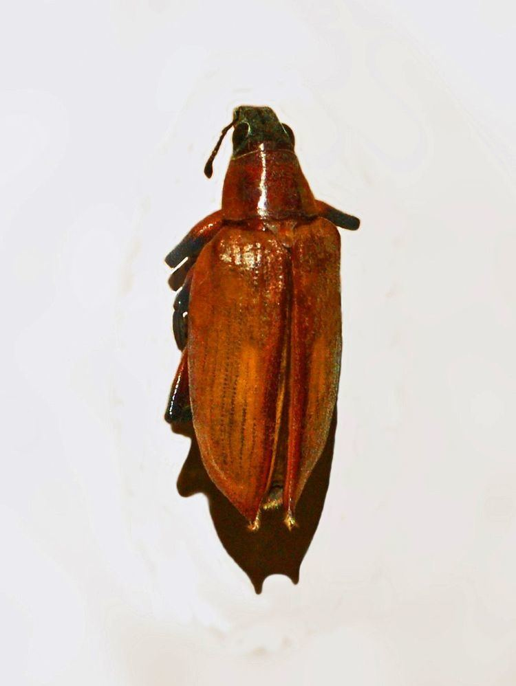 Polyclaeis maculatus