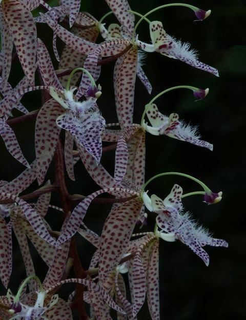 Polycycnis The Orchid Column Polycycnis barbata