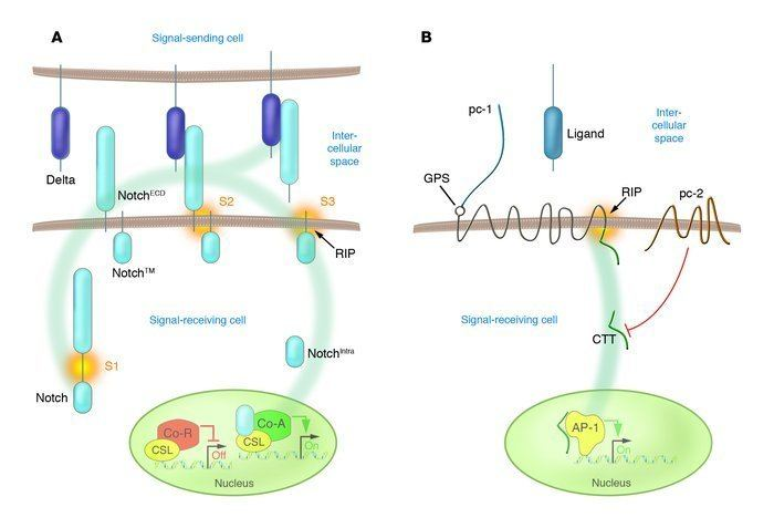 Polycystin 1 JCI RIPed and ready to dance new mechanisms for polycystin1