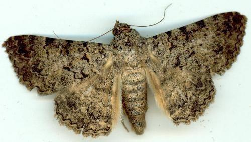 Polydesma lepidopterabutterflyhousecomaucalpboarmoides4jpg