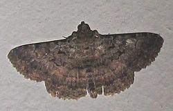 Polydesma umbricola httpsuploadwikimediaorgwikipediacommonsthu