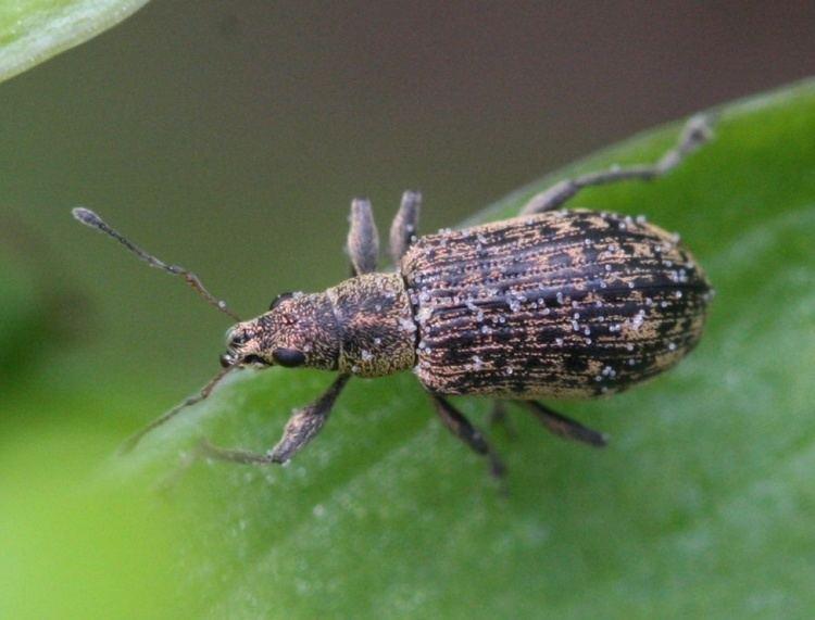 Polydrusus Polydrusus cervinus Polydrusus cervinus NatureSpot