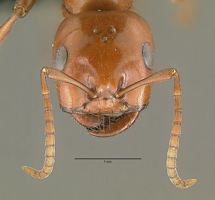 Polyergus breviceps wwwnavajonatureorgimagesantsformicinaepolyer