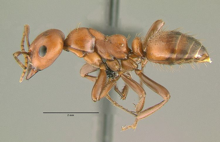 Polyergus breviceps Polyergus breviceps