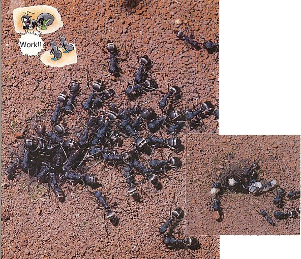 Polyergus samurai Worker ants that never work