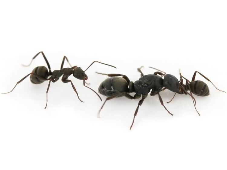 Polyergus samurai ANTSTORE Ameisenshop Ameisen kaufen Polyergus samurai