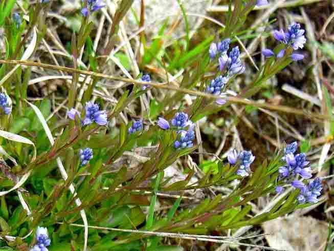 Polygala amarella Polygala Amarella Dwarf Milkwort Medicinal Uses Your Health Remedy