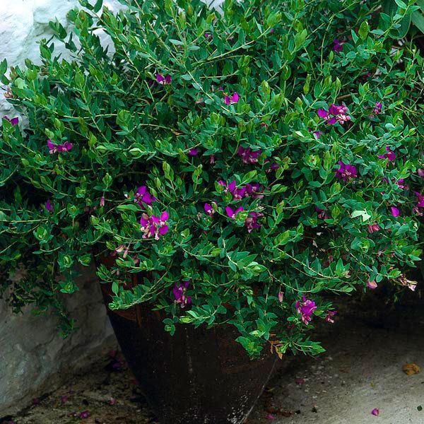 Polygala dalmaisiana Sweet Pea Bush Milkwort Polygala x dalmaisiana My Garden Life