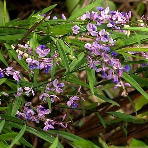 Polygala tenuifolia Polygala Root Extract Powder Novoherb