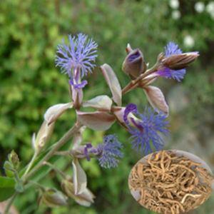 Polygala tenuifolia imagemadeinchinacom43f34j00LsdQWDVthgbjTradi