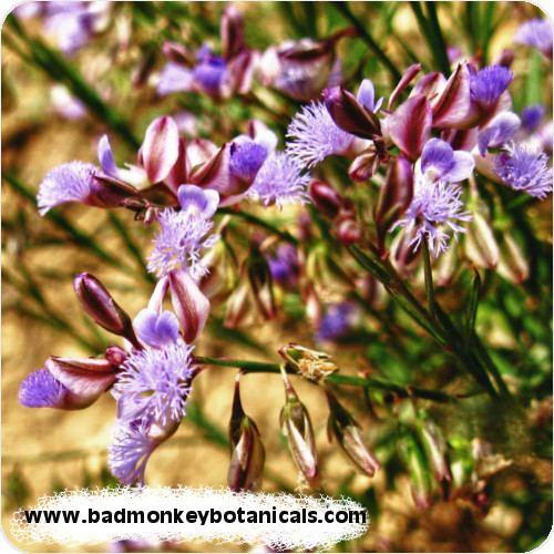 Polygala tenuifolia Polygala Tenuifolia Organic 201 Extract BadmonkeyBotanicalscom