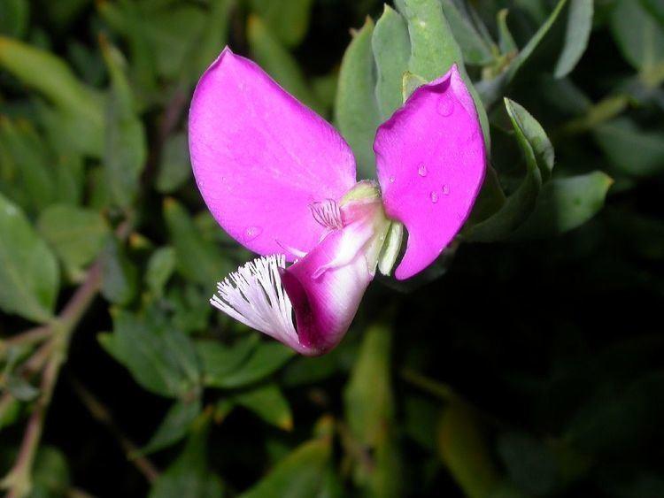 Polygalaceae Polygala dalmaisiana Polygalaceae image 8094 at PlantSystematicsorg