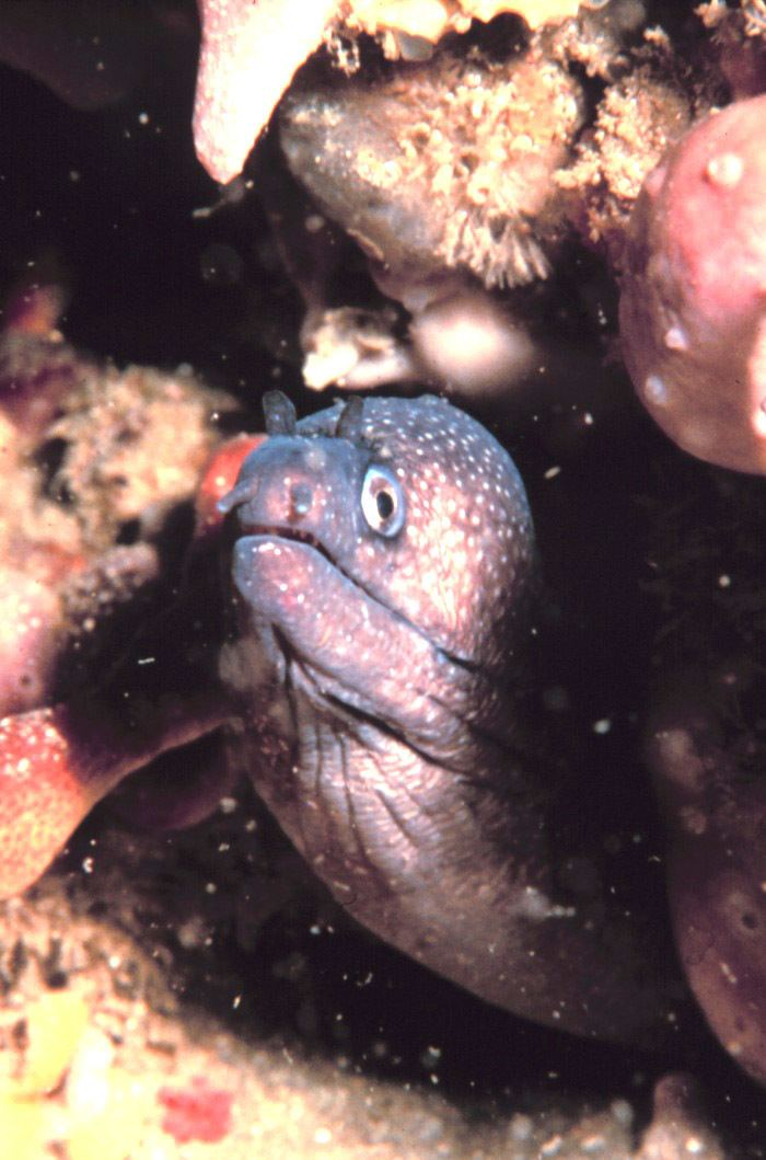 Polygon moray