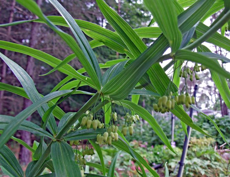 Polygonatum verticillatum Polygonatum verticillatum Ruscaceae image 42716 at PhytoImagessiuedu