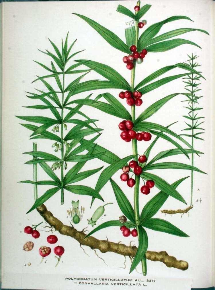 Polygonatum verticillatum Polygonatum verticillatum Sigillo di Salomone verticillato