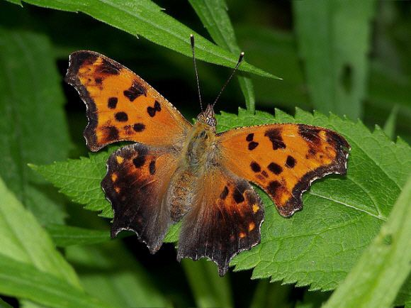 Polygonia Butterflies of North America Polygonia comma