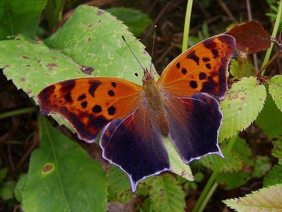 Polygonia Butterflies of North America Polygonia interrogationis