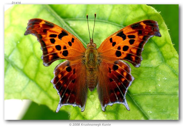 Polygonia Polygonia interrogationis live adults page 1