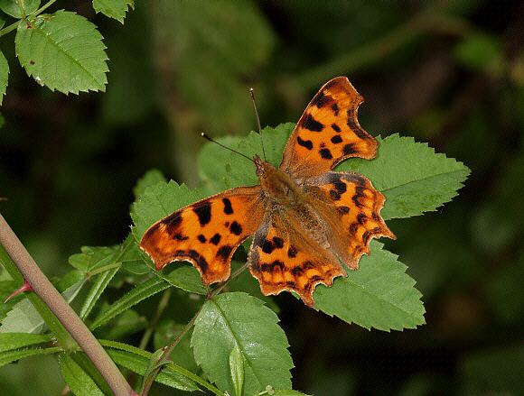 Polygonia Butterflies of Europe Polygonia calbum