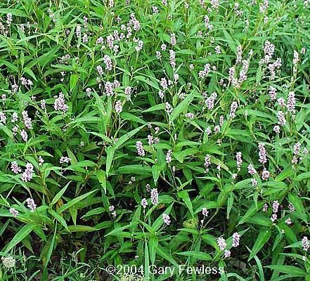 Polygonum pensylvanicum Wetland Plants of Wisconsin Polygonum pensylvanicum Pennsylvania