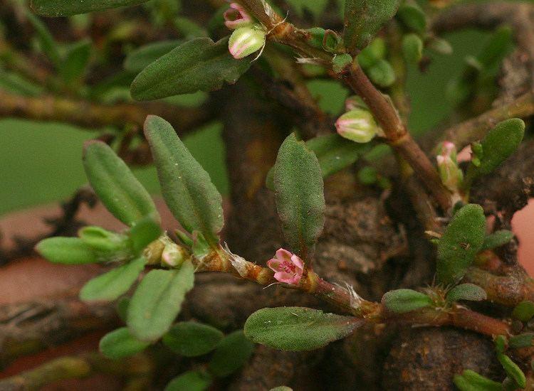 Polygonum plebeium Flora of Zimbabwe Species information individual images Polygonum