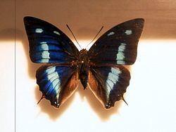 Polygrapha cyanea httpsuploadwikimediaorgwikipediacommonsthu