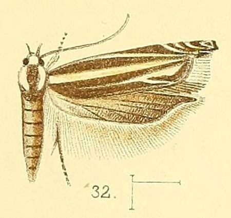 Polyhymno cleodorella