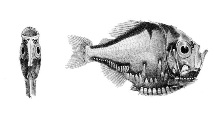 Polyipnus spinosus