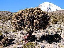 Polylepis httpsuploadwikimediaorgwikipediacommonsthu