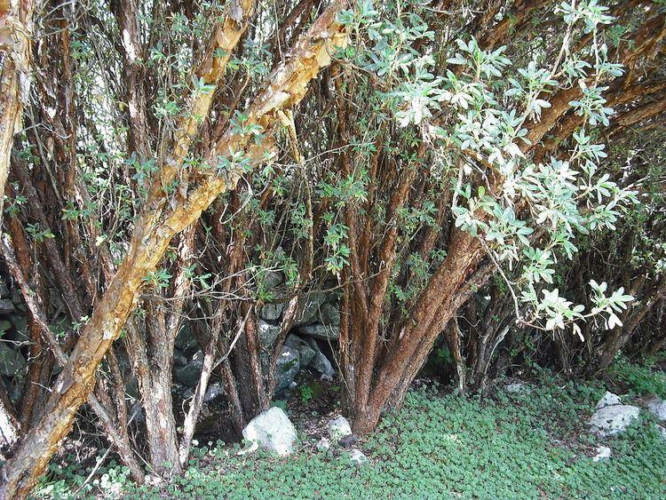 Polylepis racemosa httpsuploadwikimediaorgwikipediacommonsthu