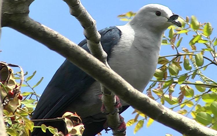 Polynesian imperial pigeon httpsuploadwikimediaorgwikipediacommonsbb