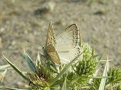 Polyommatus albicans httpsuploadwikimediaorgwikipediacommonsthu