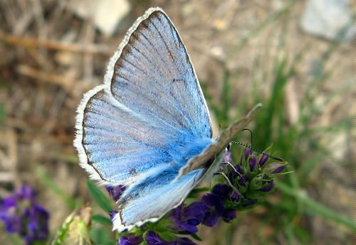 Polyommatus daphnis Meleager39s blue Blue Polyommatus daphnis