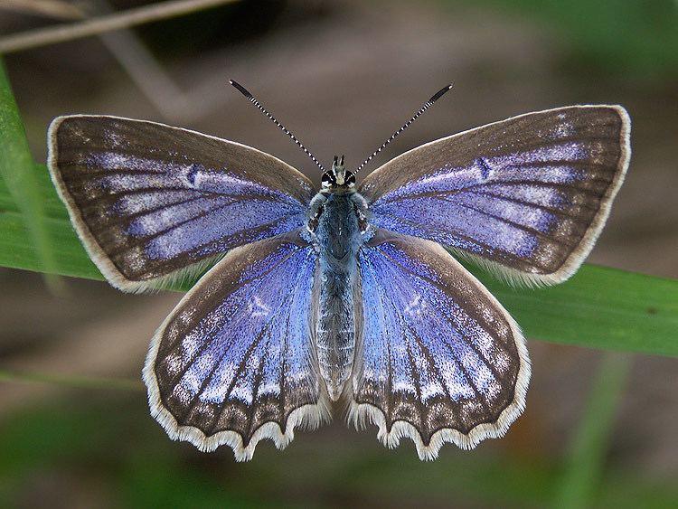 Polyommatus daphnis wwwbiolibczIMGGAL43064jpg