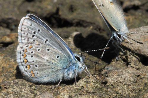 Polyommatus eros Polyommatus eros on euroButterflies by Matt Rowlings