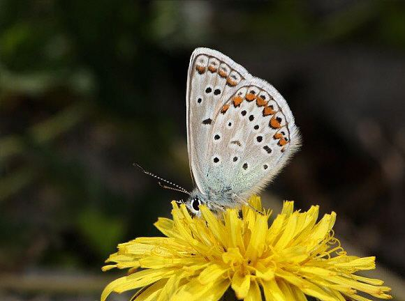 Polyommatus eros Butterflies of temperate Asia Polyommatus eros