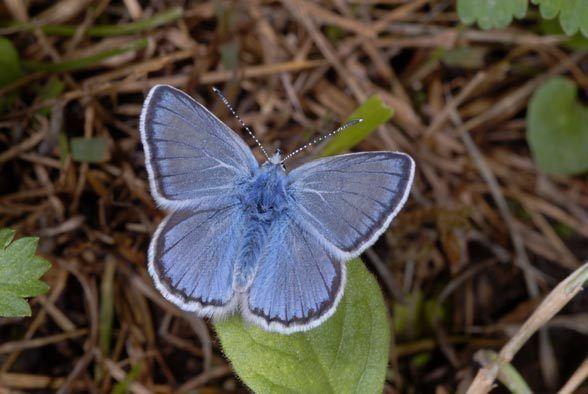 Polyommatus eros European Lepidoptera and their ecology Polyommatus eros