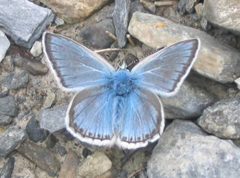 Polyommatus eros Eros Blue Polyommatus eros