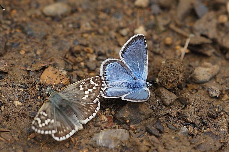 Polyommatus eros wwwbutterfliesoffrancecomimagesLycaenidae20