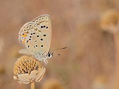 Polyommatus loewii httpsuploadwikimediaorgwikipediacommonsthu