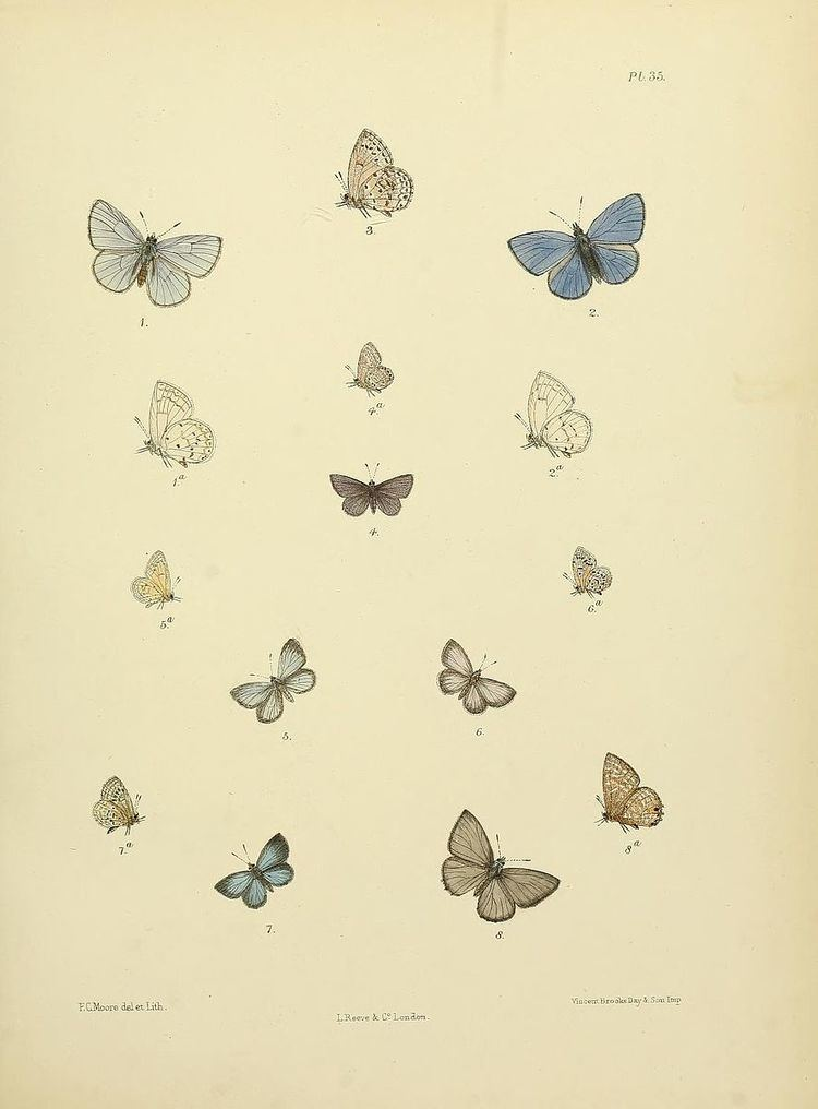 Polyommatus singalensis