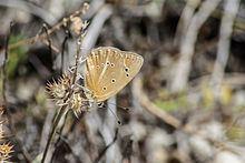 Polyommatus violetae httpsuploadwikimediaorgwikipediacommonsthu