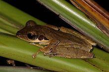 Polypedates macrotis httpsuploadwikimediaorgwikipediacommonsthu