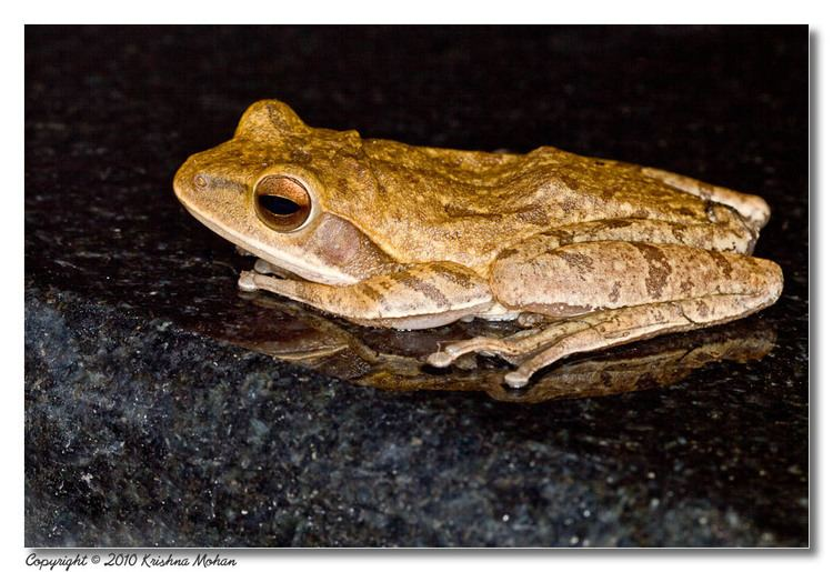 Polypedates maculatus The Common Indian Tree Frog Krishna Mohan Photography