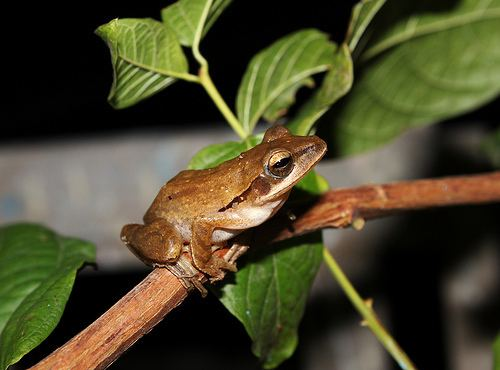 Polypedates maculatus Chunam Tree Frog Polypedates maculatus iNaturalistorg