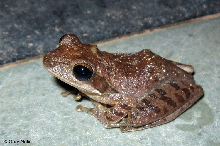 Polypedates maculatus Common Tree Frog Polypedates maculatus
