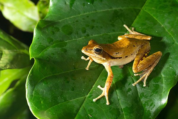 Polypedates maculatus Photo essay India39s Western Ghats is a haven for endemic amphibians